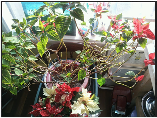another poinsettia 30.PNG