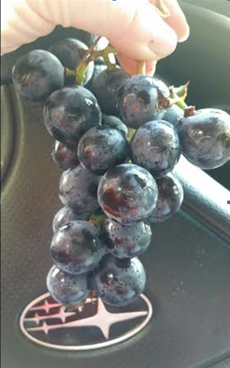 276 round grapes.PNG