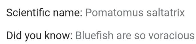584bluefish2